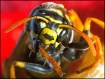 Wasp clean his le...
