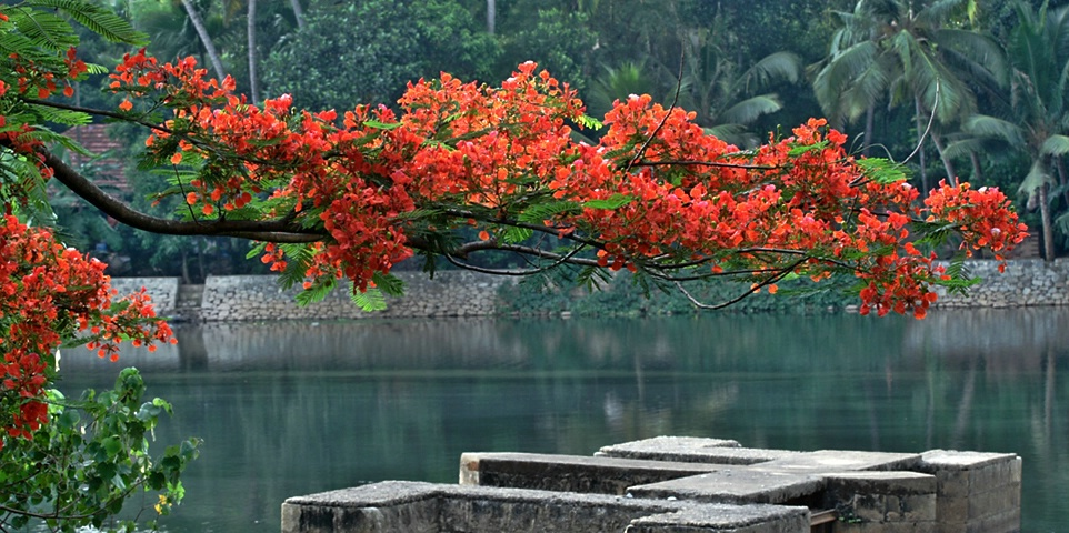 Flamboyant On River Bank