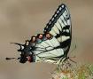 Swallowtail on Bu...