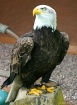 American Bald Eag...
