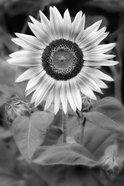 Sunflower #2 in Black and White