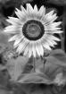 Sunflower #2 in B...