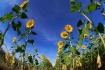 Rows of sunflower...
