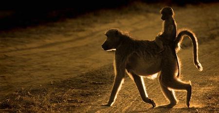 Baboon & Young, Sunset Botswana