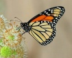 Monarch on Button...