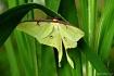 Luna Silk Moth