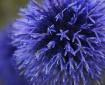 Blue Globe Thistl...