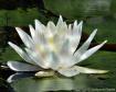 Pond Lily 2(F15)