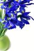 Blue Iris in a Gr...