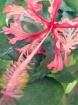 Hibiscus schizope...