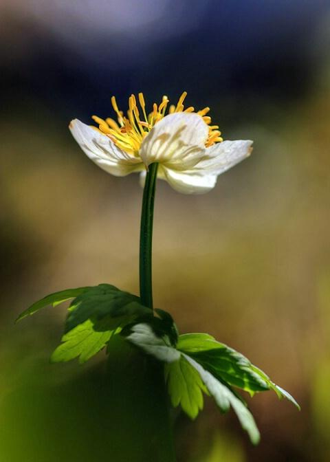globeflower