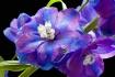 delfinium, blue, ...