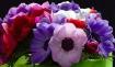 anemone, pink, pu...