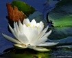Pond Lily 1(F14) ...