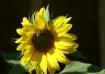 honeybee sunflowe...