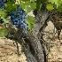 © Tedd Cadd PhotoID# 4626870: Old Vines are Best