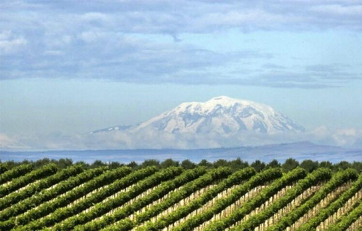 Morning in the Vineyard - ID: 4637252 © Tedd Cadd