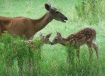 Fawns discovering...