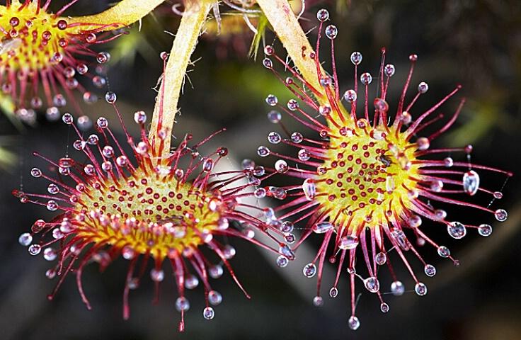insectivorous_plant__drosera_r