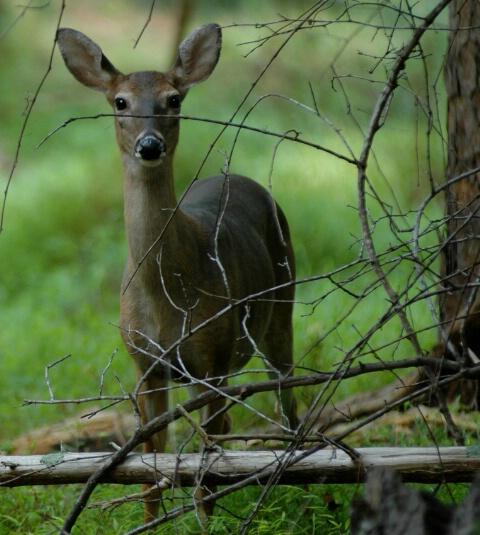 """""""Doe, A Deer, A...."""""""