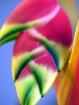 Colorful  Hawaiia...