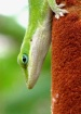 The Geico Gecko