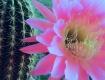 Cactus Bloom in P...