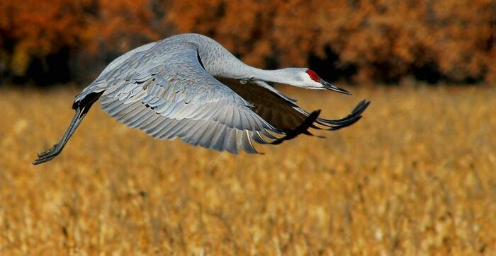 Sandhill Crane in Flight - Bosque del Apache