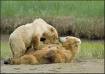 grizzly bear Love...