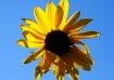 A Sun(flower)y Sk...