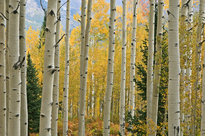 Autumn Aspen Elk Mountains