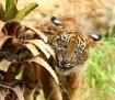 Teething Tiger