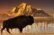 ~ Teton Buffalo ~...