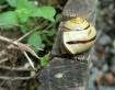 Monadenia Fidelia