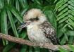 Kookaburro
