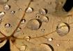 Rainy Maple