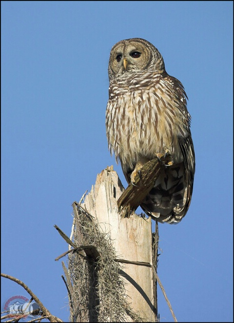 Barred Owl Perched