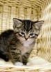 kitten in a baske...