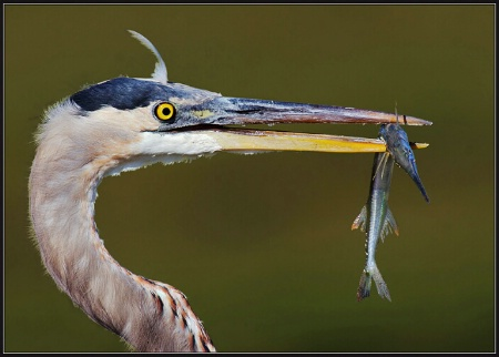 Great Blue Heron and Friend