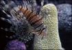 Scorpio Fish