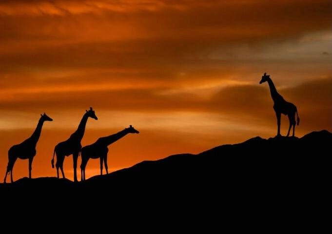 Journey of the Giraffe
