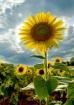 Sunflower Sunbloc...