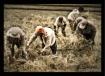 The Harvest...