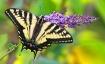 Butterfly's F...