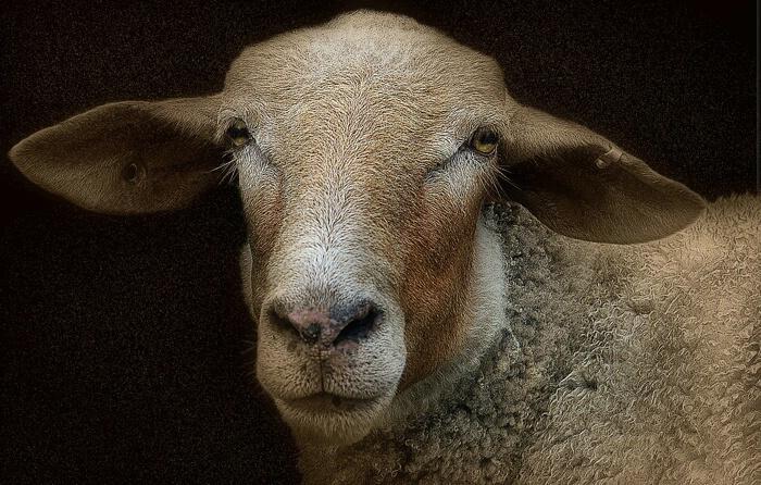 Sheepish 2