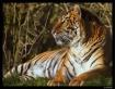 Tiger Tiger burni...