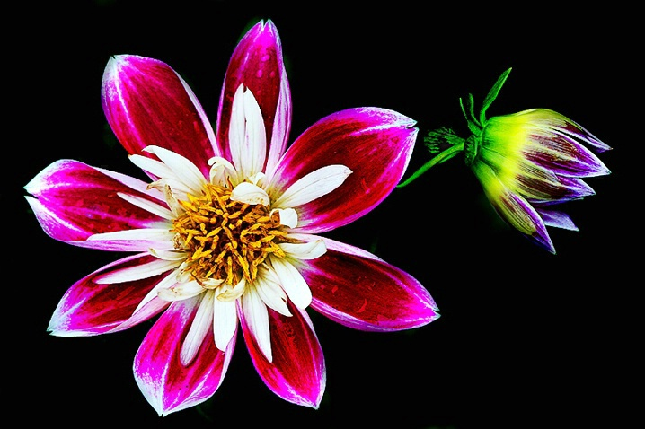 Dahlia Before and After