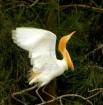 Airborne Egret