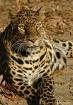 Autumn Leopard