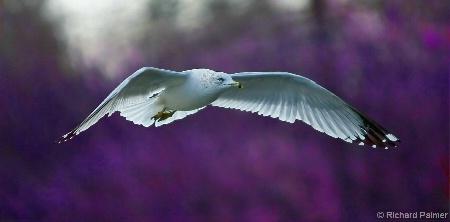 Royal Seagull